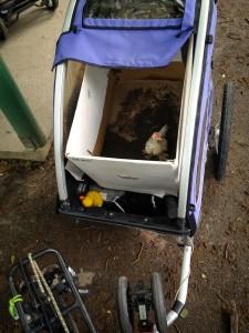 KLUKK? Trenger du å transportere en høne? Kristian Stoll demonstrerer at man ikke trenger bil for å drive med dyretransport. Det holder lenge med en Nordic Cab tilhenger. Foto: Kristan Stoll